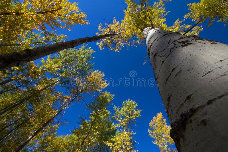 Looking up at beautiful Aspen trees in Montana. During a crisp Fall day royalty free stock photos