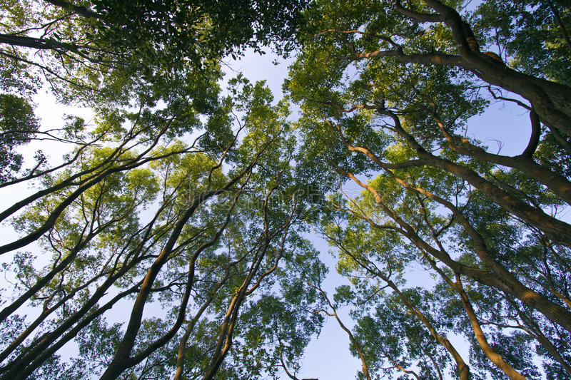 Looking up in a beech tree forest,low angle stock photo