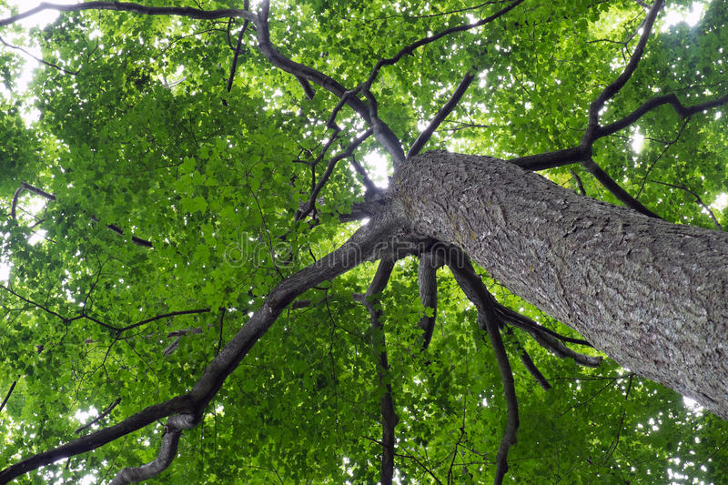 Looking Up Beneath a Tree royalty free stock image