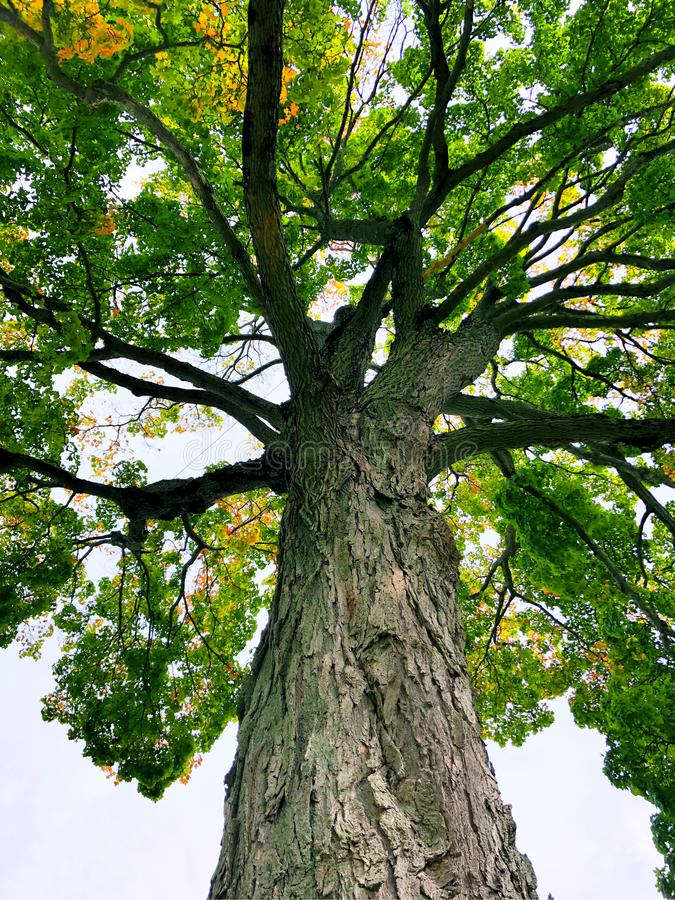 Looking up a big sugar maple tree. Inside The Hill–Stead Museum that is a Colonial Revival house and art museum set on a large estate in Farmington stock photography