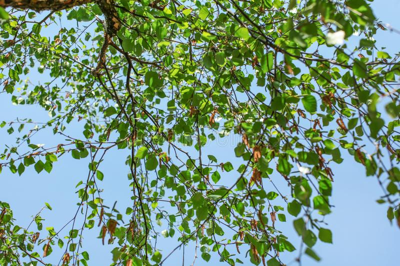 Looking up the birch tree, small green leaves against blue sky background. Abstract spring nature background royalty free stock photos