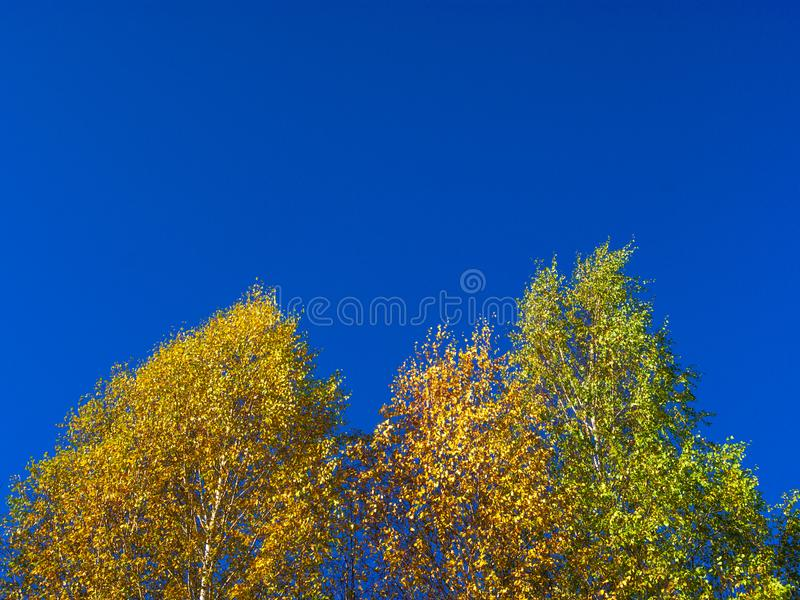 Looking Up The Birch Tree Tops Against Blue Sky On A Sunny Fall Day. Looking Up The Birch Tree Tops Against Blue Sky On A Sunny Fall Day stock photos