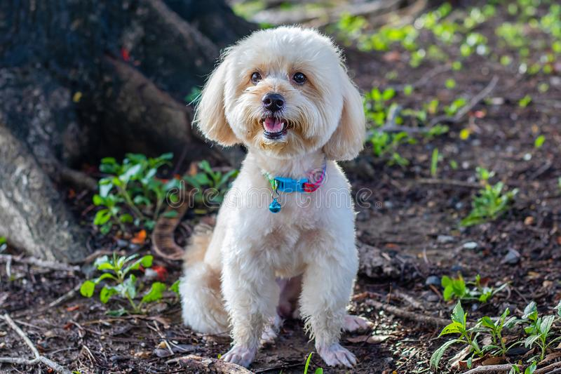 Looking up brown cute poodle puppy sitting on ground, Cute white poodle dog on green park background, background nature, green, stock image