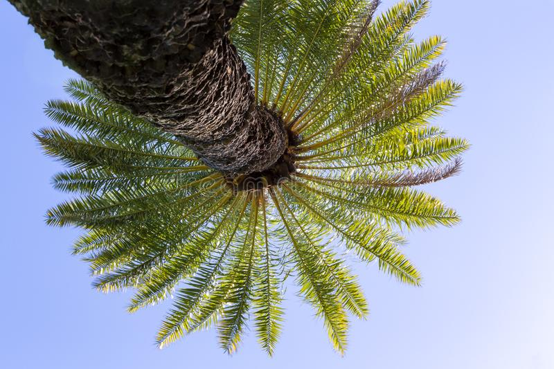 Looking up into the crown of a Hawaiian palm tree stock photo