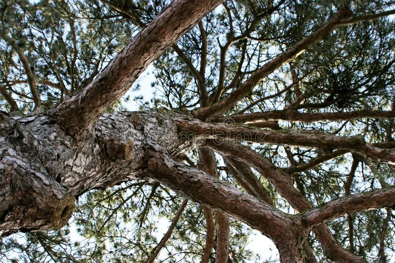Looking up at crown of a pinetree royalty free stock photo