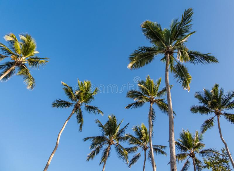 Looking up at exotic palm trees against a blue cloudless sunny sky royalty free stock photos