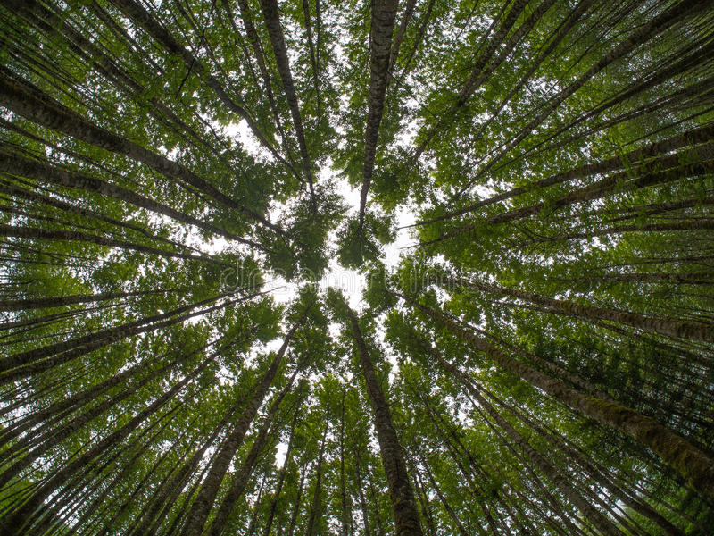 Looking up in a forest of trees royalty free stock image