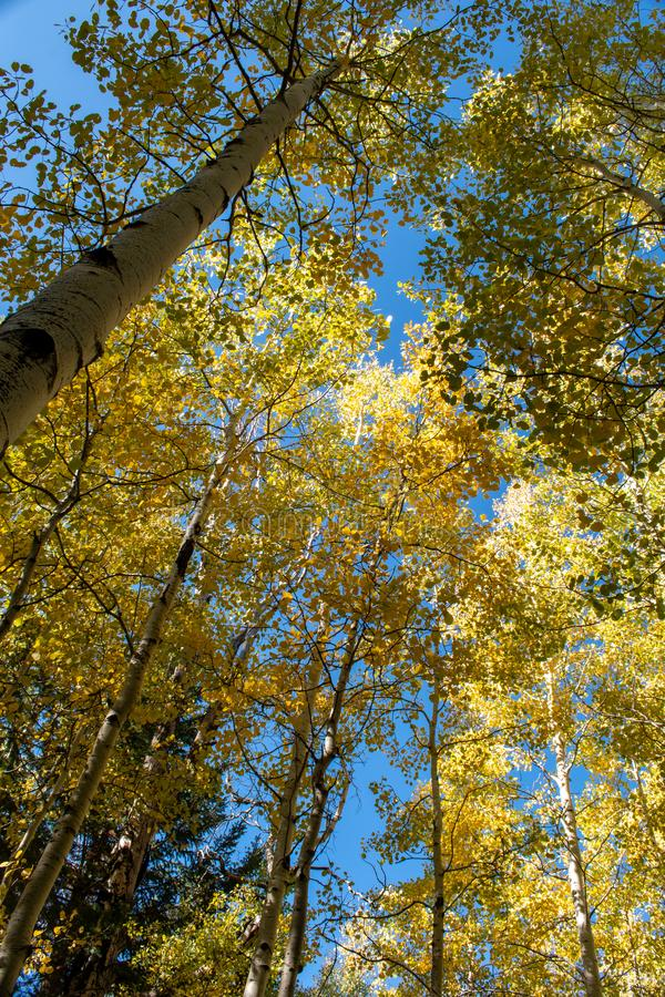 Looking up at golden aspen trees stock photography