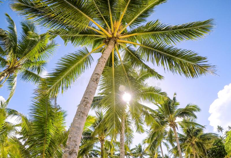 Looking up through golden sunshine into a palm tree plantation a royalty free stock photo