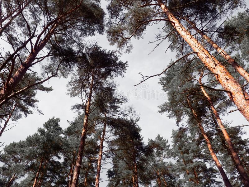Pine tree tops. Looking up at high pine trees stock images
