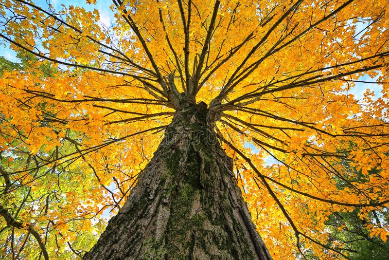 Looking Up a huge Autumn Sugar Maple Tree stock photos
