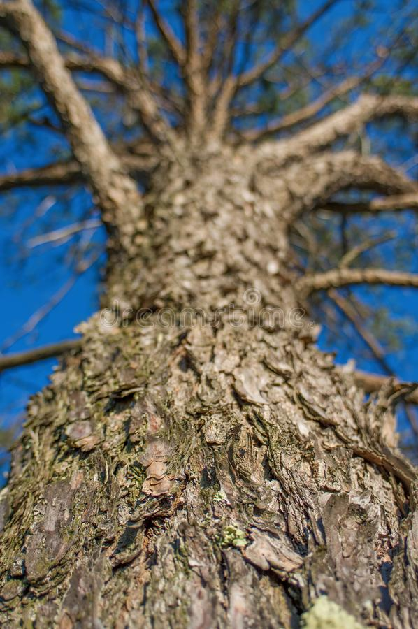 Looking up a huge evergreen pine tree in the Crex Meadows Wildlife Area - focus and detail on the bark - looking up the tree to th royalty free stock photo