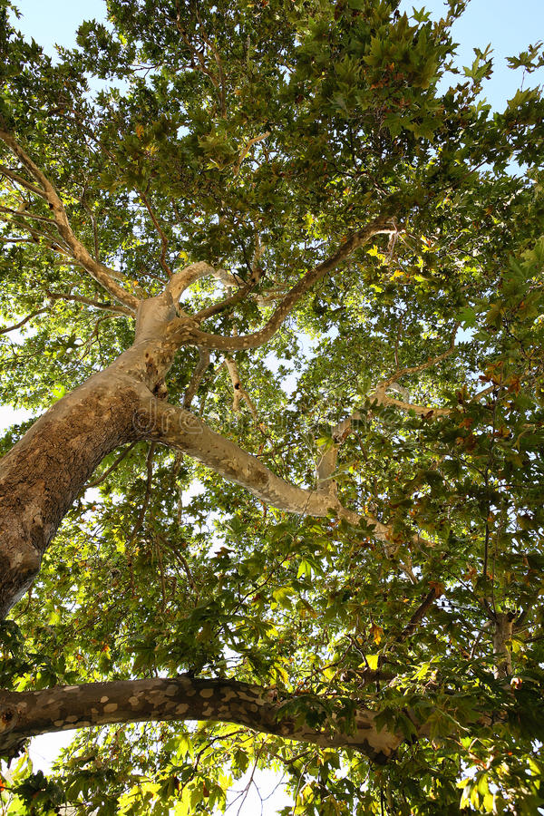 Free Looking Up Into A Leafy Green Shade Tree Royalty Free Stock Photography - 37684677