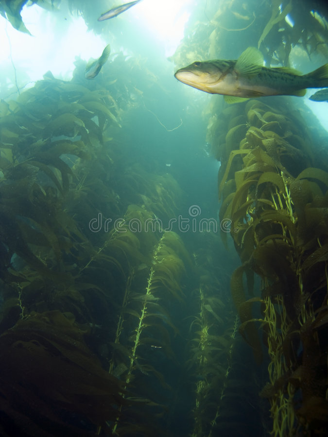 Looking up into the Kelp. At a Sea Bass in Catalina stock photo