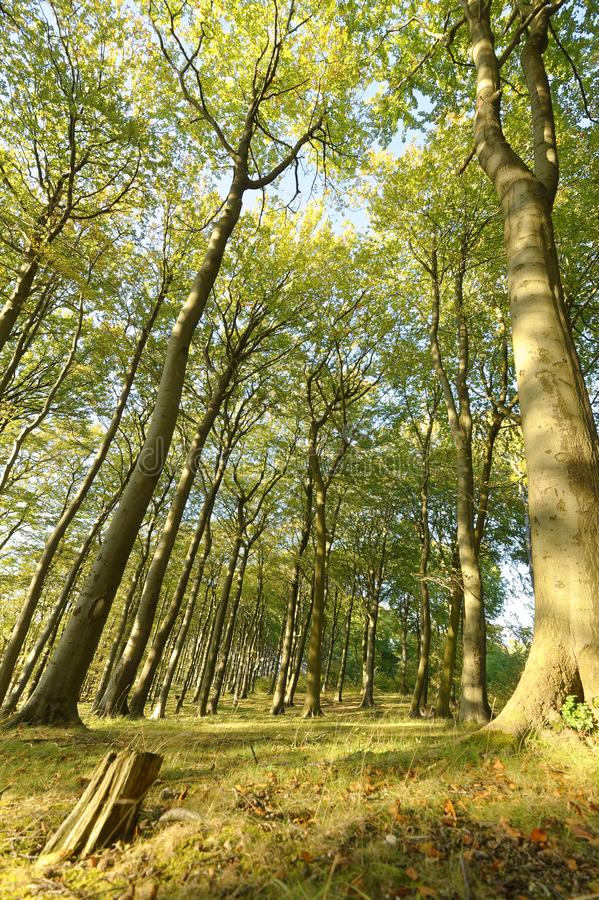 Looking up at large Beech trees. perspective sharpenhoe england europe. Image of beech trees taken in Sharpenhoe clappers, Sharpenhoe, Bedfordshire, england stock images