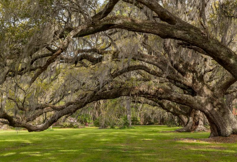 Looking Up Into Live Oak Canopy. Across green lawn royalty free stock image