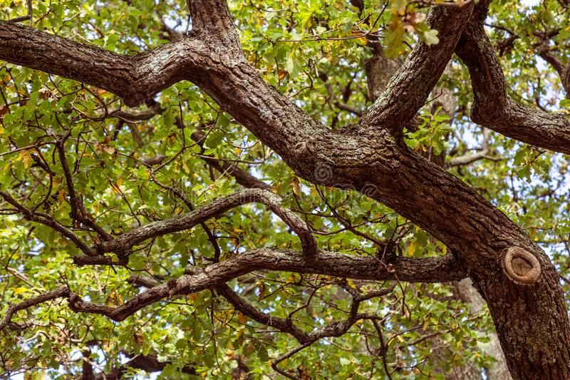 Looking up into an old tree with twisted branches stock photography