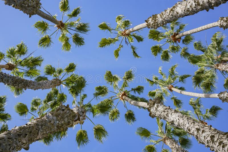 Looking up the palm tree with blue sky royalty free stock photography