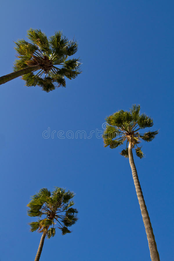 Looking Up At Palm Trees Stock Photography