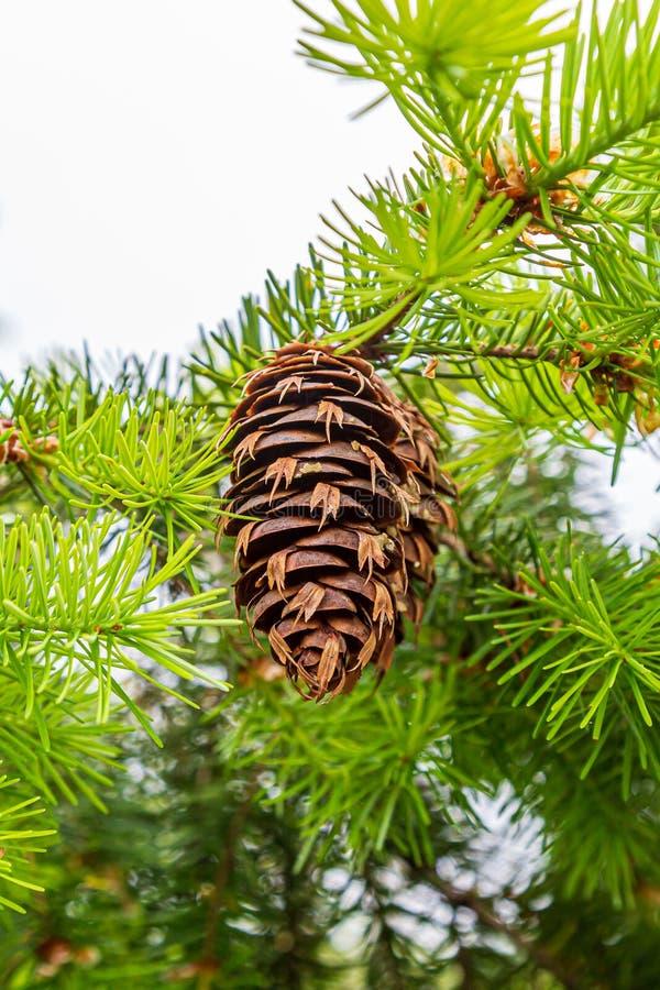 A Pine Cone stock photos