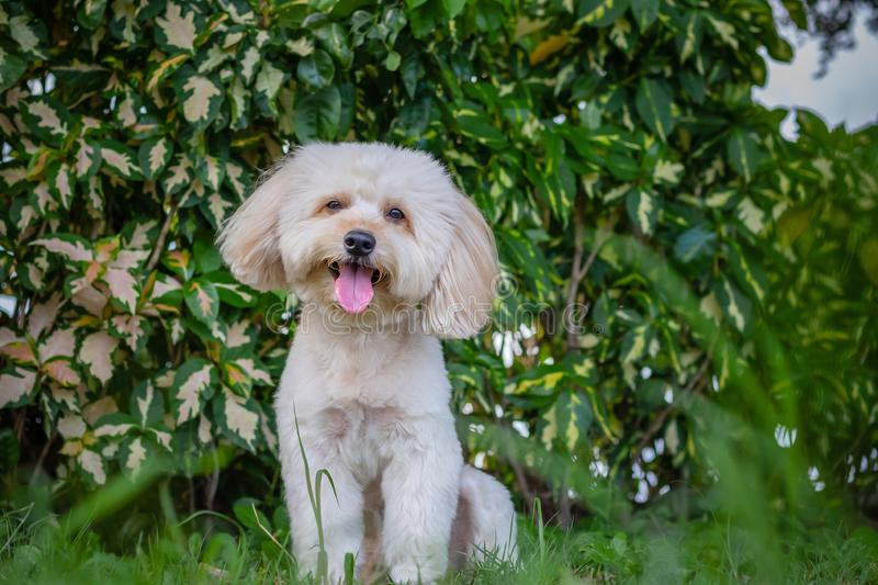 Looking up puppy dog, poodle terrier walking on park, Cute white poodle terrier, relax pet, poodle terrier mix, poodle sit down. Smile royalty free stock image