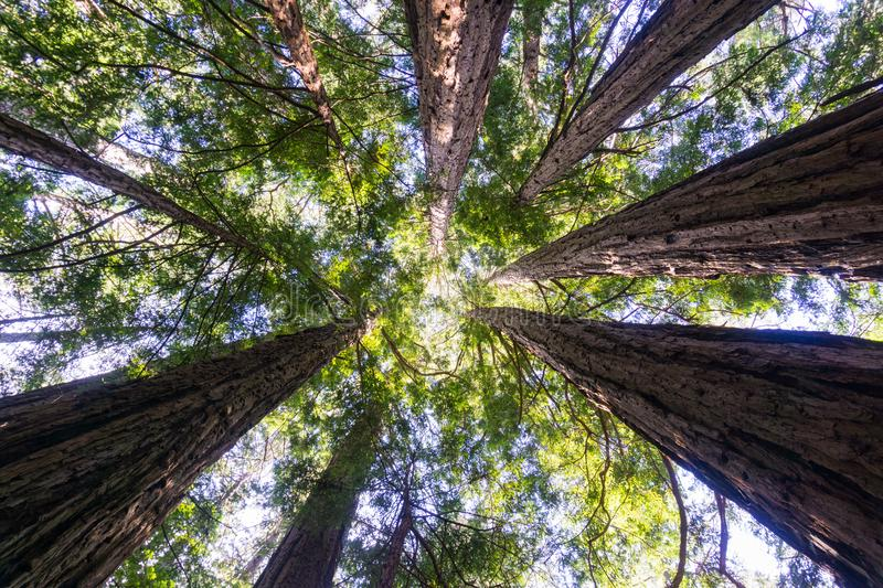 Looking up in a redwood forest, California royalty free stock photo
