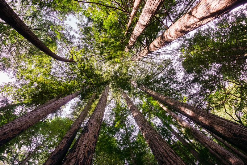 Looking up in a Redwood trees Sequoia Sempervirens forest, Henry Cowell State Park, Santa Cruz mountains, San Francisco bay area royalty free stock photos