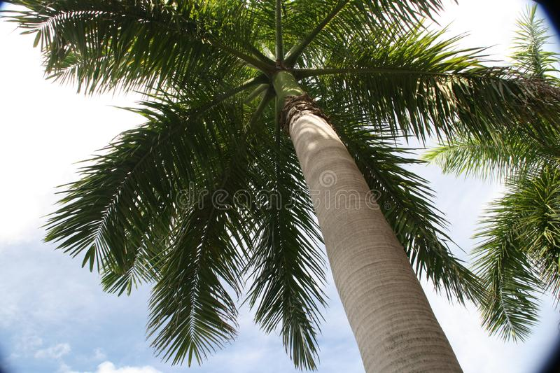 Looking up at the sky, we a see a palm tree. stock images