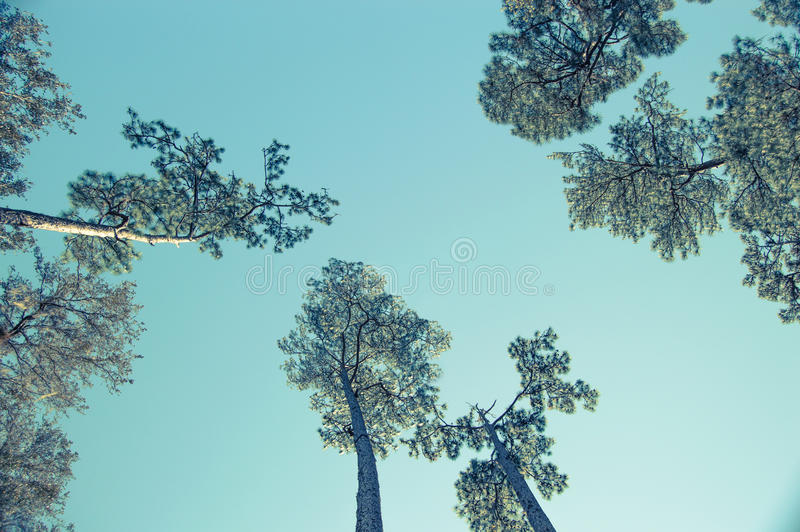 Looking Up at the Sky Through the Trees stock image