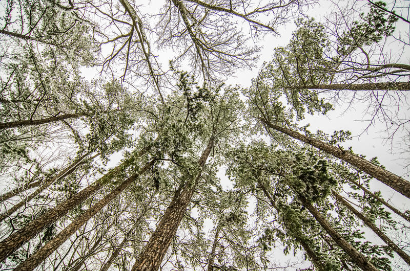 Looking up at snow covered trees stock image