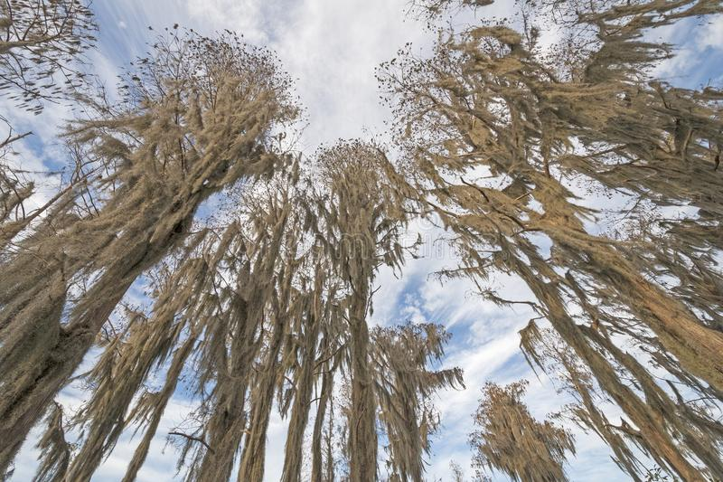 Looking up in the Spanish Moss of a Cypress Forest stock photo