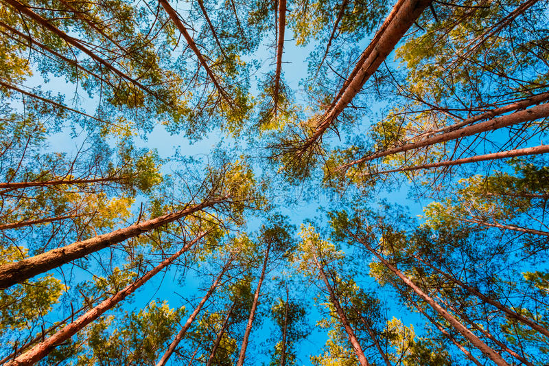 Looking Up In Spring Pine Forest Tree To Canopy royalty free stock photography