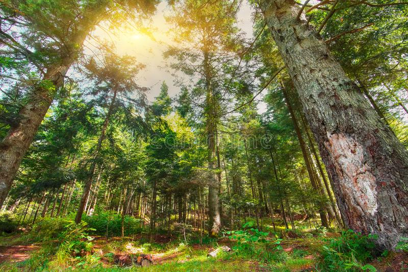 Looking Up In Summer Mixed Forest Trees Woods To Canopy. Bottom View Wide Angle Background. Pine Forest stock images