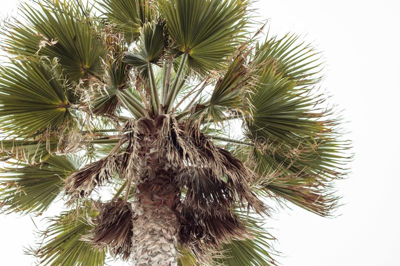 Looking up a tall beautiful palm tree royalty free stock images