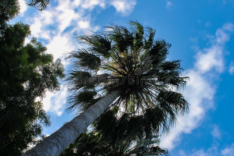 Looking up a a tall palm tree from directly below - silhouetted against a very blue sky with white clouds stock photos