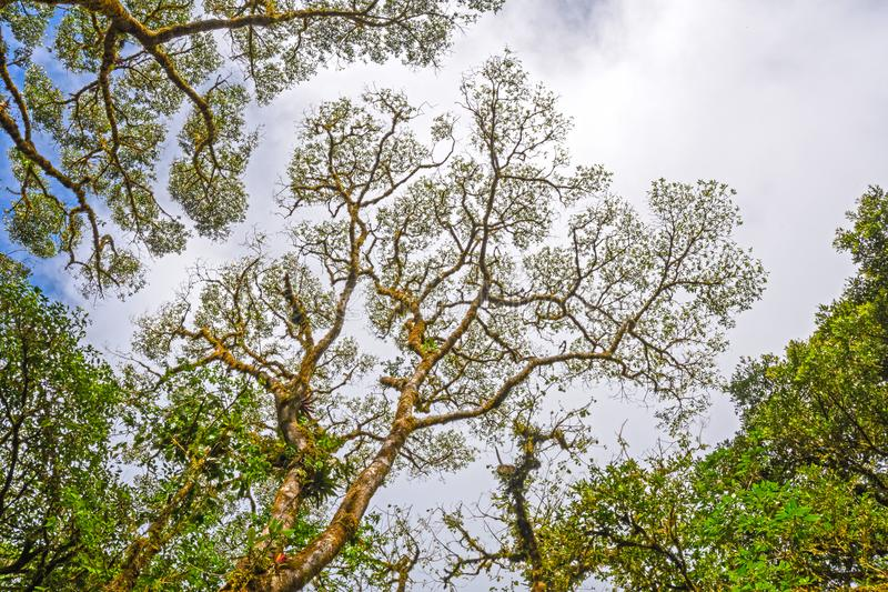 Looking Up to the Canopy of a Cloud Forest royalty free stock images