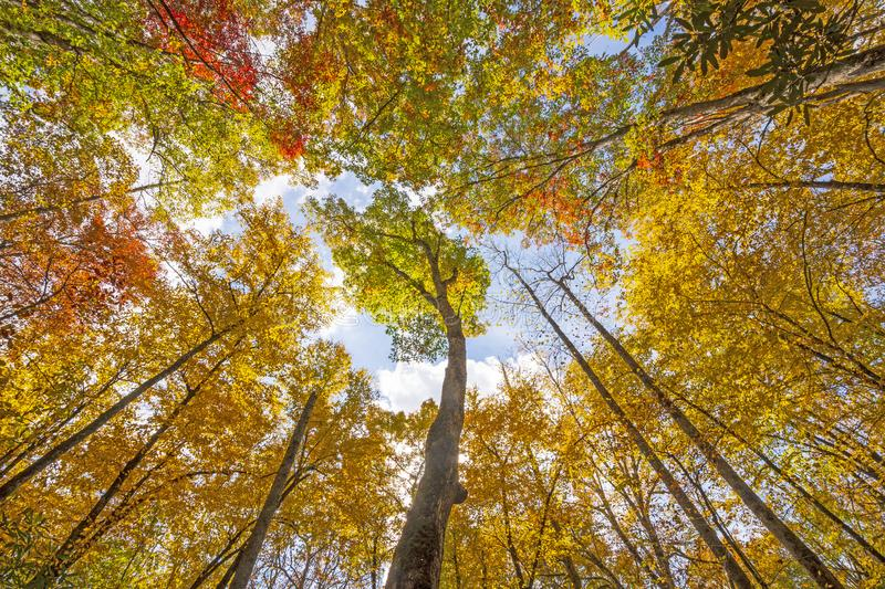 Looking up to Colorful Fall Forest royalty free stock photography