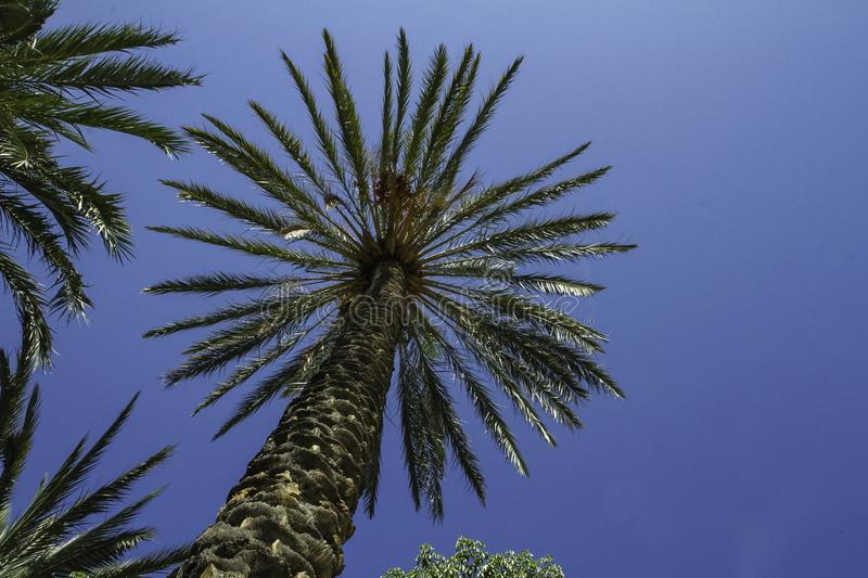 Looking up to a colorful palm dates tree and fruits reaching up tall into deep blue sky in Sicily stock photo