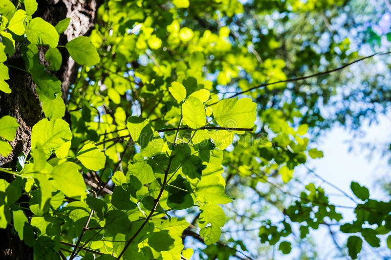 Looking up to a Poison oak vine climbing on a tree trunk, San Francisco bay area, California royalty free stock image