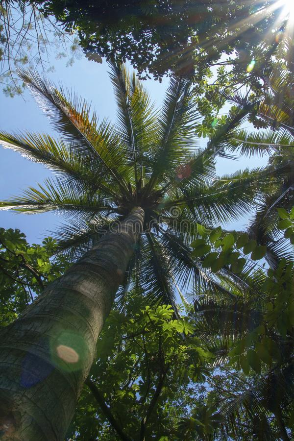 Looking up to see the coconut tree in the park. Looking up to see the coconut tree in the recreation park royalty free stock photo