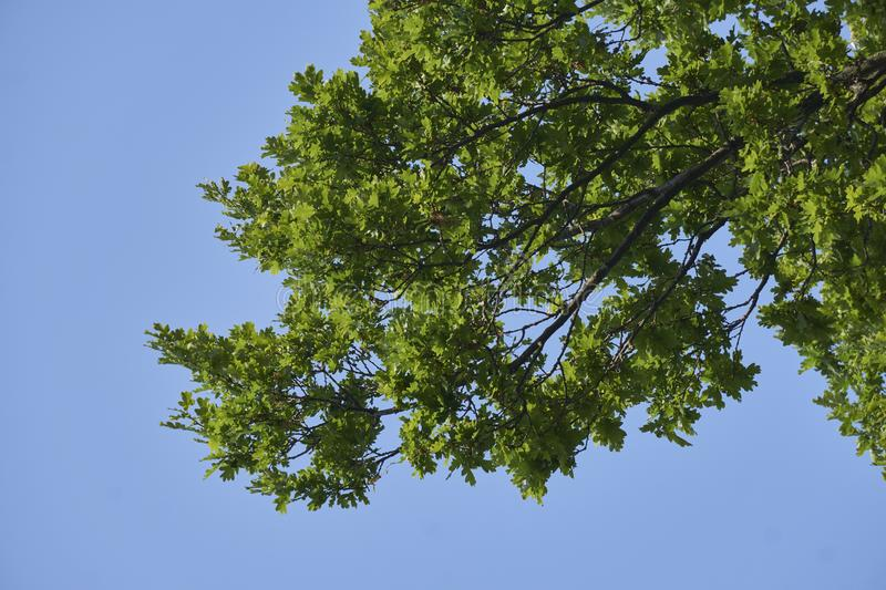 Fresh green leafs in spring on blue sky background royalty free stock photos