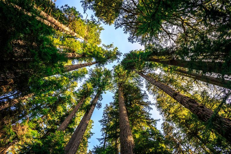 Looking up to the Trees, Olympic National Forest. At Olympic National Park Washington royalty free stock photography