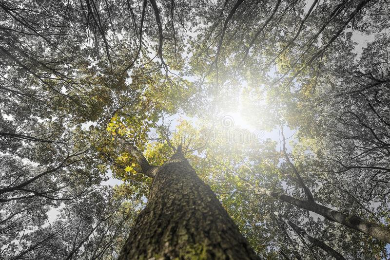 Looking up at the top of the trees. royalty free stock images