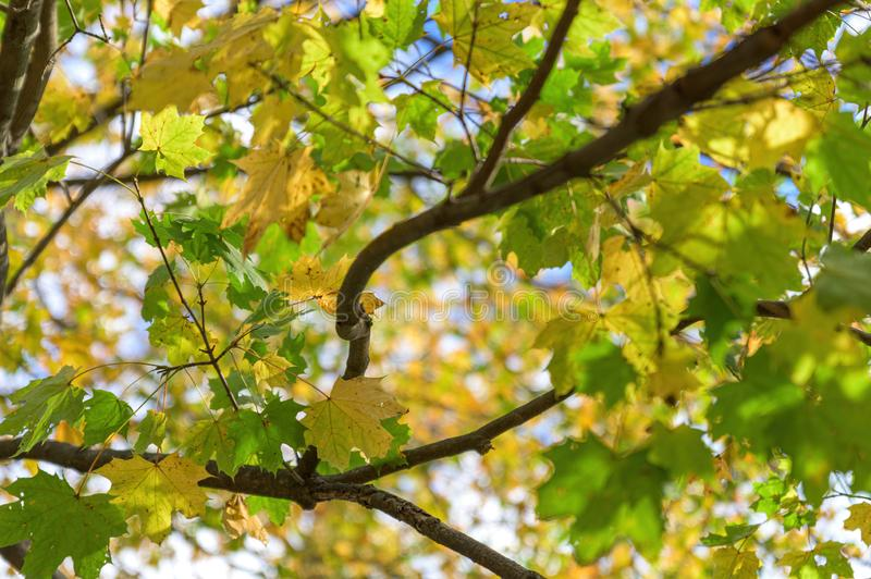Looking up toward green and yellow foliage on a sunny autumn day in Upstate New York stock photos