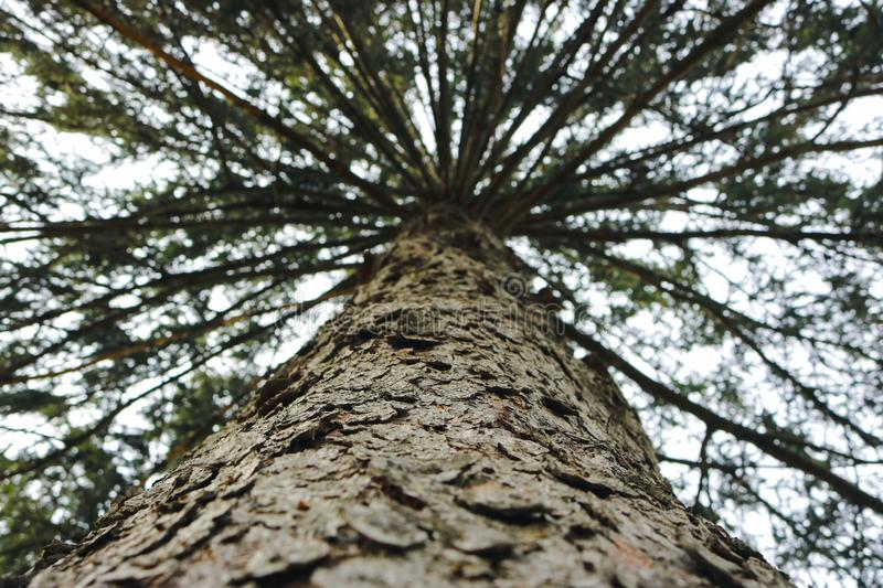 Looking Up a Towering Tree royalty free stock photo