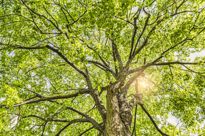 Looking up into the tree crown. The Sun is shining royalty free stock photos