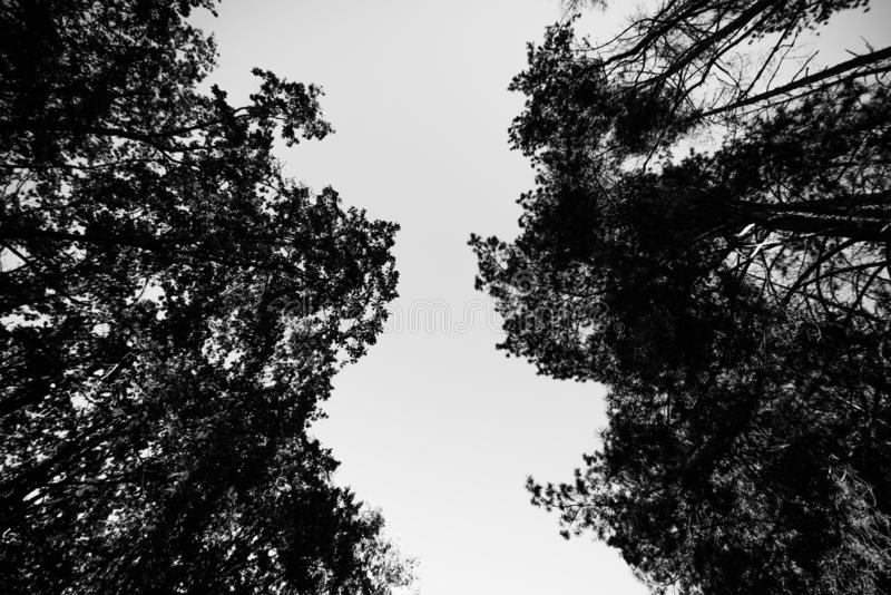 Looking up the trees in autumn forest royalty free stock photo