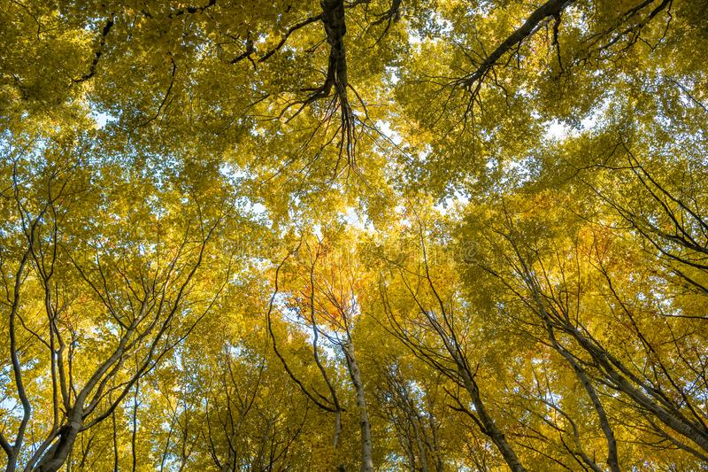 Looking up the trees in autumn forest stock photography