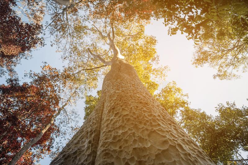 Looking up the trunk of a giant rainforest tree to the canopy stock photos