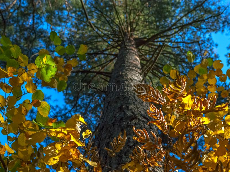Looking Up The Trunk Of Pine Tree, The Bright Crown Of Green, Yellow And Golden Leaves. Autumn Colors, Change Of Seasons Concept. stock photos